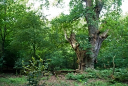 Pedunculate oak in the Hasbrucher Urwald, Hude, Germany