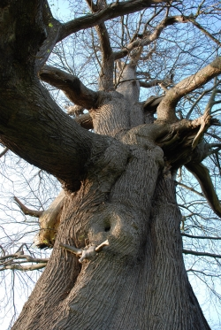 Sweet chestnut close to Cowdray Home Farms, Midhurst, United Kingdom