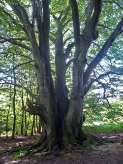 European beech in the Urwald Sababurg, Hofgeismar, Germany
