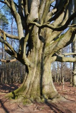 European beech in the woods of Eichheide, Gro� Sch�nebeck, Germany