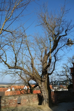 Black mulberry close to the Kirche, Karbach, Germany