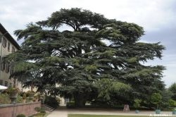 Lebanon cedar in the Schlo�park, Bad Homburg vor der H�he, Germany