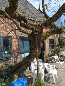 Black mulberry in the area of Huize Bijdorp, Veurseweg 3, Voorschoten, Netherlands