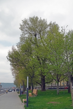 Black poplar in the street am Main, W�rzburg, Germany