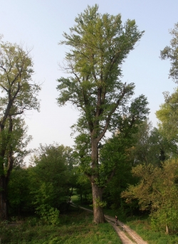 Black poplar in the Lobau, Donaustadt, Austria