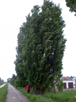 Black poplar in the street am Wiener Neust�dter Kanal, Tribuswinkel, Austria