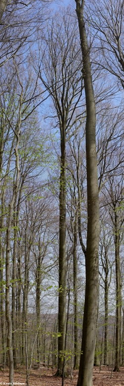 European beech in the Naturwaldreservat Kleinengelein, Wustvieler Forst, Germany