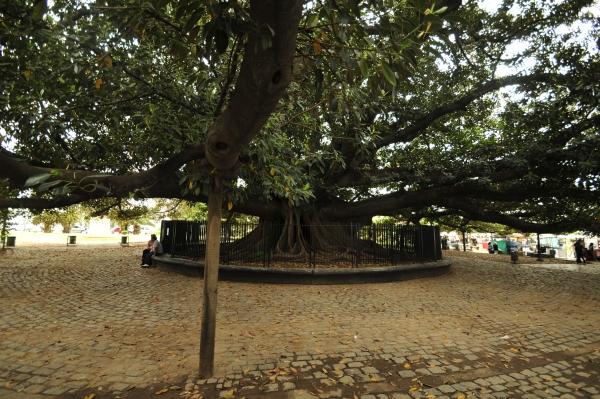 Moreton Bay Fig Close To Plaza Ramón J. Carcaño In Buenos