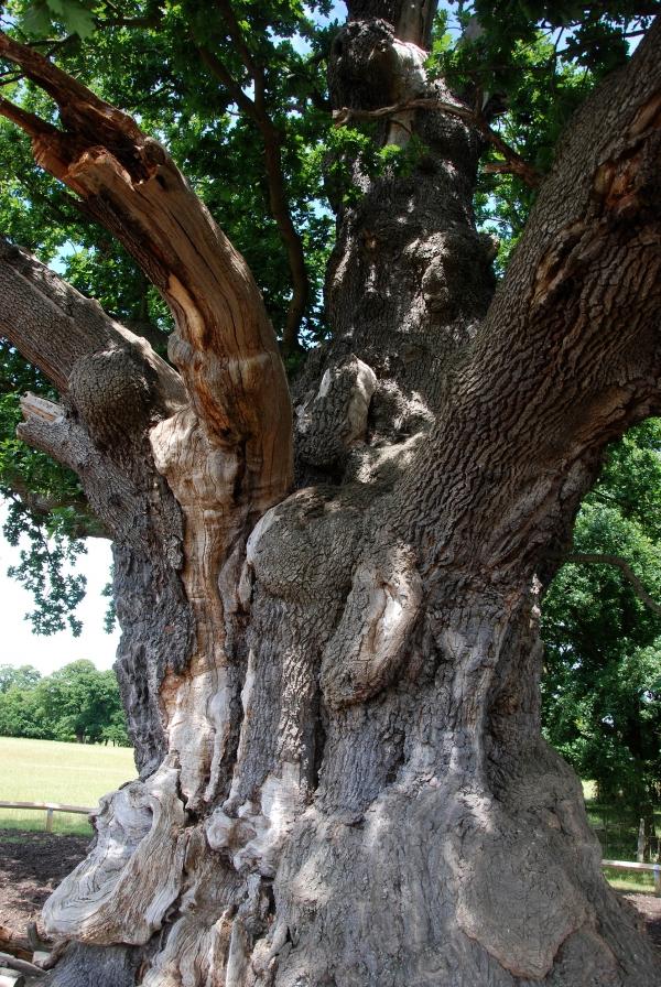Pedunculate Oak Signing Oak In Windsor Great Park