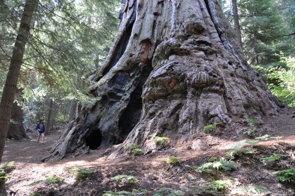 Giant Sequoia Boole Tree In The Giant Sequoia National