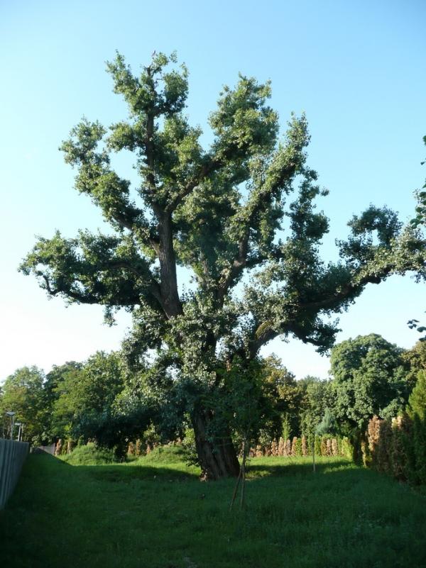 Black Poplar Topol Cierny V Samorine At The Cemetery In