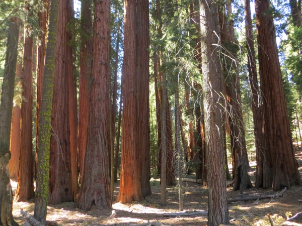 Monumental Trees Along The Redwood Mountain Grove In