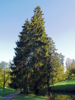 bilder von gemeine fichten picea abies in deutschland monumentale b ume. Black Bedroom Furniture Sets. Home Design Ideas