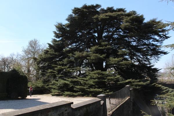 Lebanon Cedar In The Castle Garden Of Ch 226 Teau D Argenteau