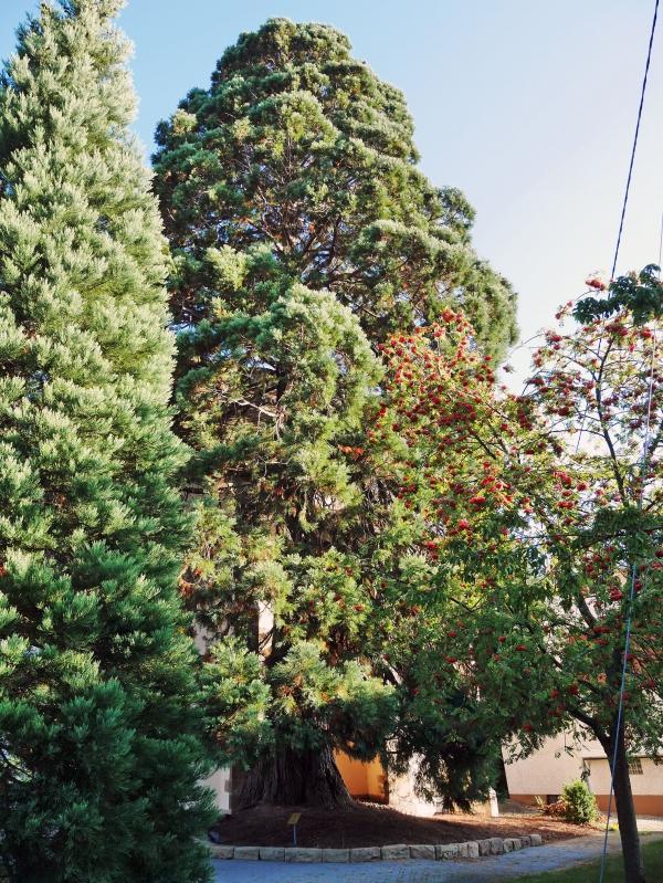 riesenmammutbaum in der n he der au enmauer des chores der marienkirche von reutlingen bronnw in. Black Bedroom Furniture Sets. Home Design Ideas