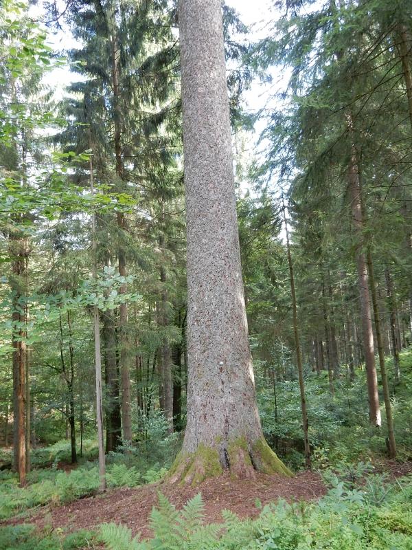 Wei 223 Tanne Gro 223 E Tanne Im Wald Von Ottersweier In