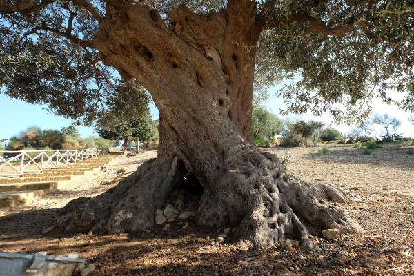 olivenbaum 39 olivo del tempio di giunone 39 in der n he der valle dei templi agrigento sizilien. Black Bedroom Furniture Sets. Home Design Ideas