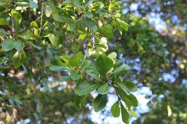schwarzer olivenbaum im bereich der charles deering estate 72nd avenue in miami florida. Black Bedroom Furniture Sets. Home Design Ideas