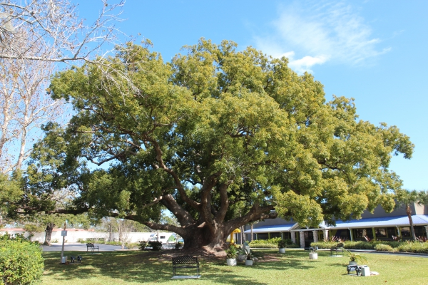 Camphor Tree Close To The Intersection Gulf To Bay Blvd