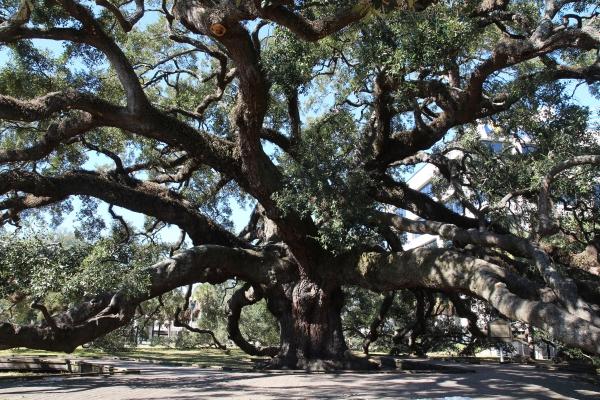 Southern Live Oak Treaty Oak In Treaty Oak Park In