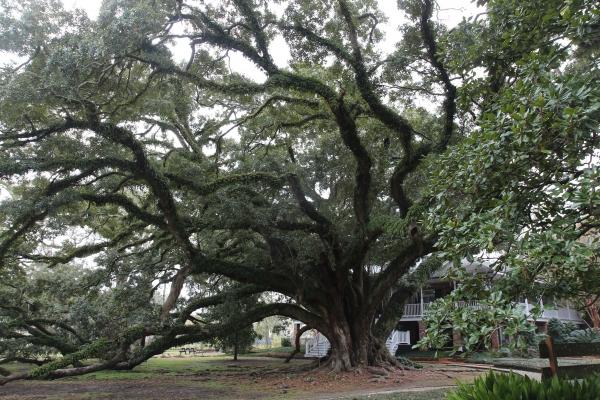 Southern Live Oak Seven Sisters Oak In Fountain Street
