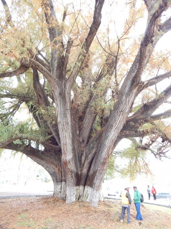 Montezuma Cypress In The Park Of El Sabino In Zimap 225 N