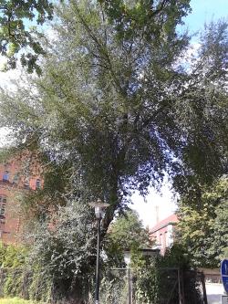 Photos of st lucie cherry trees prunus mahaleb - Romanian cherry tree varieties ...