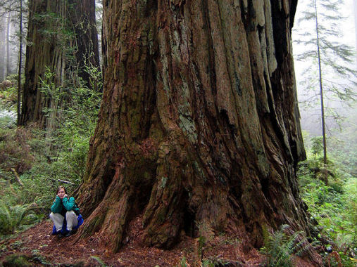 World s largest not tallest tree sequoia giant sequoias are the world