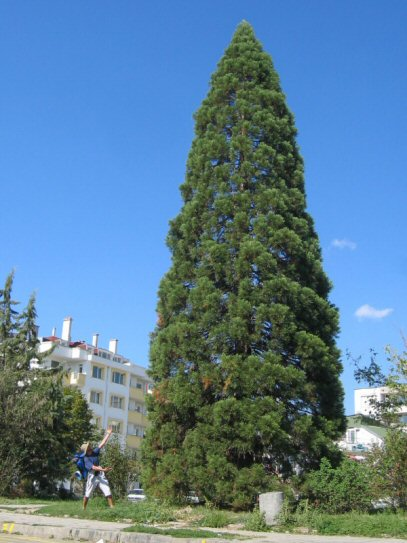 Sequoiadendron in Blaguvgrad, Bulgaria, photo by Tim Bekaert