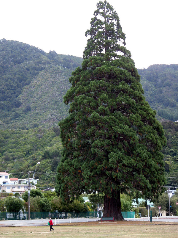 Giant sequoia in Picton, New Zealand, photo by Stephen Paul Hayden