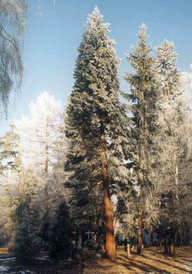 Sequoiadendron in Wroclaw, Poland