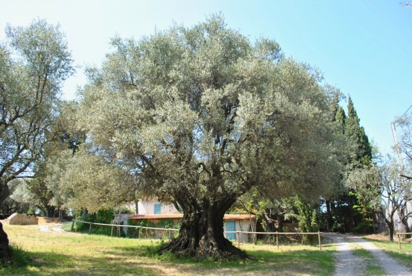olivenbaum im garten des mas de fontsainte la ciotat. Black Bedroom Furniture Sets. Home Design Ideas