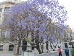 Palisanderholzbaum  Bilder von Palisanderholzbäume (Jacaranda mimosifolia ...