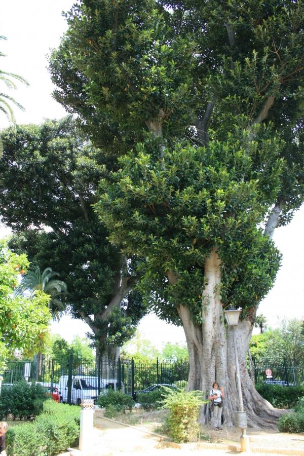 Arbres monumentaux jardin de murillo sevilla for Arbres de jardin