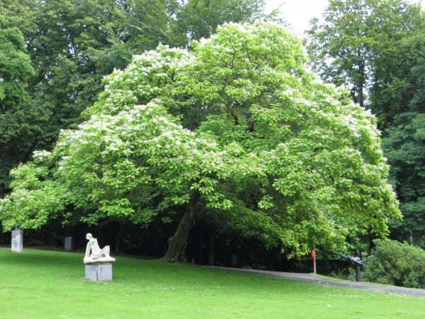 gew hnlicher trompetenbaum in park middelheim antwerp. Black Bedroom Furniture Sets. Home Design Ideas