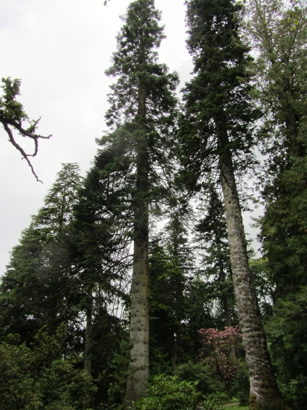 Monumental trees in the ardkinglas woodland garden in for Garden trees scotland
