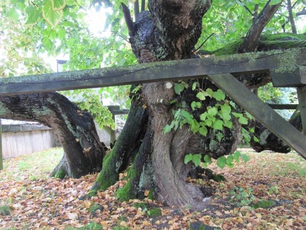 Tilleul grandes feuilles le long du kasselerstrasse niedenstein hesse allemagne - Tilleul a grandes feuilles ...