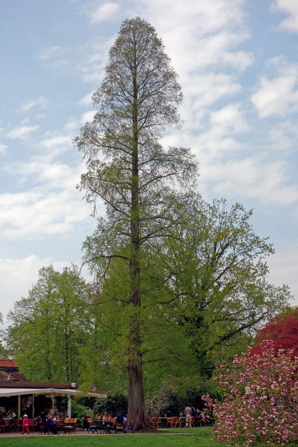 Urweltmammutbaum Im Jenischpark Hamburg Hamburg Deutschland