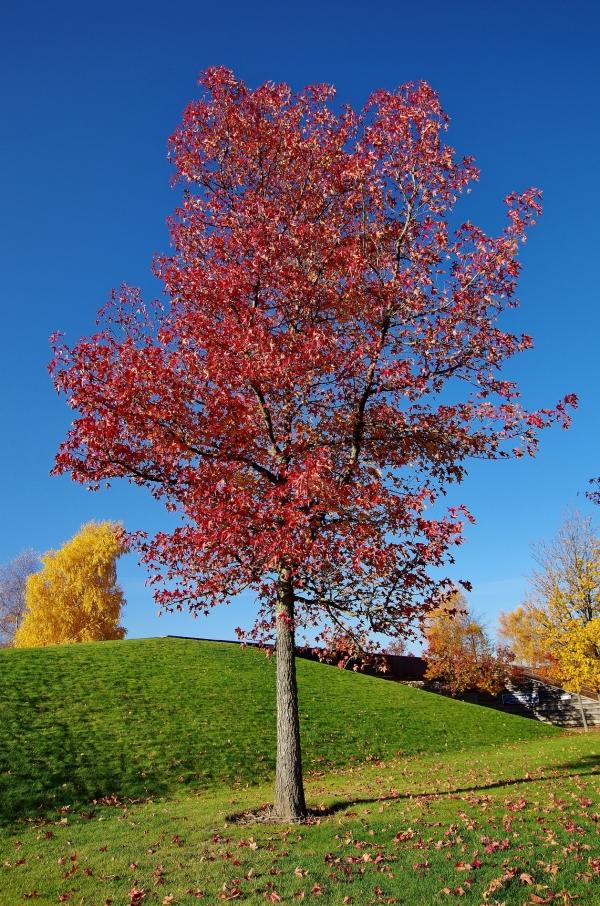 amerikanischer amberbaum im volkspark potsdam brandenburg deutschland. Black Bedroom Furniture Sets. Home Design Ideas
