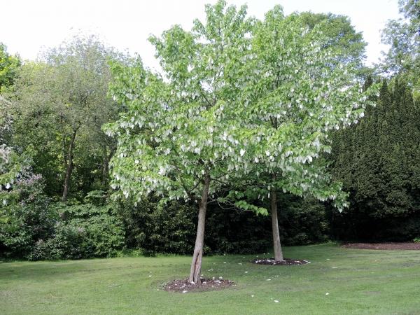 taschentuchbaum rhododendron park bremen schwachhausen bremen deutschland. Black Bedroom Furniture Sets. Home Design Ideas