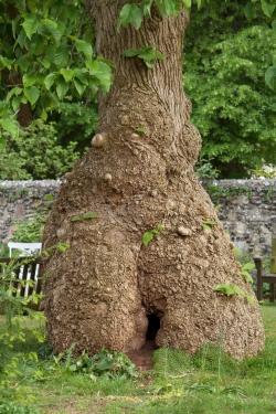 Photos Of Cucumber Trees Magnolia Acuminata Monumentaltreescom