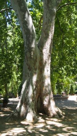 Fotos de rboles monumentales y singulares en coria for Viveros de arboles de sombra