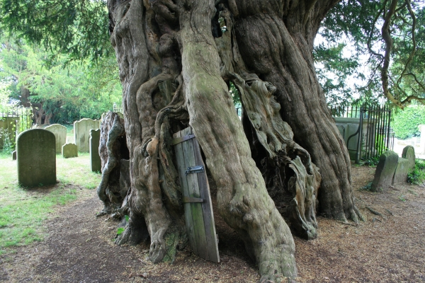 Image result for The Crowhurst Yew