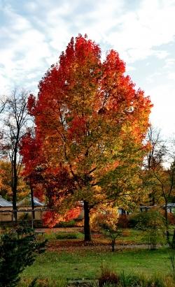 Photos of American sweetgum trees (Liquidambar styraciflua ...