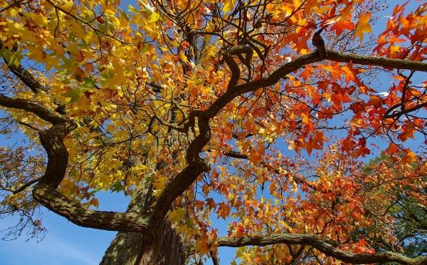 amerikanischer amberbaum im schlosspark sanssouci potsdam. Black Bedroom Furniture Sets. Home Design Ideas