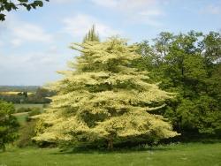 Table Dogwood In Nuneham Park, Oxford, England, United Kingdom