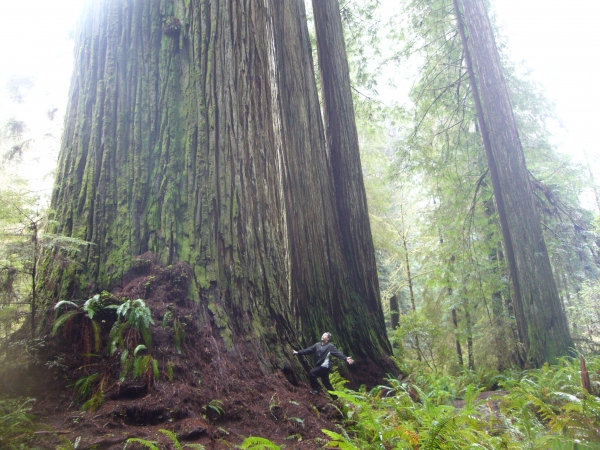 Coast Redwood El Viejo Del Norte In Redwood National