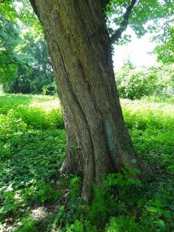 Italian Maple In The Park Of Haus Meer, Meerbusch, North Rhine Westphalia,