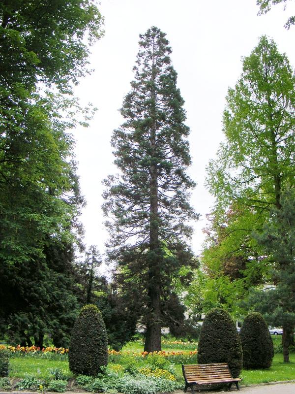 Giant sequoia close to the Parc du château d\'Eau, Colmar, Haut-Rhin ...