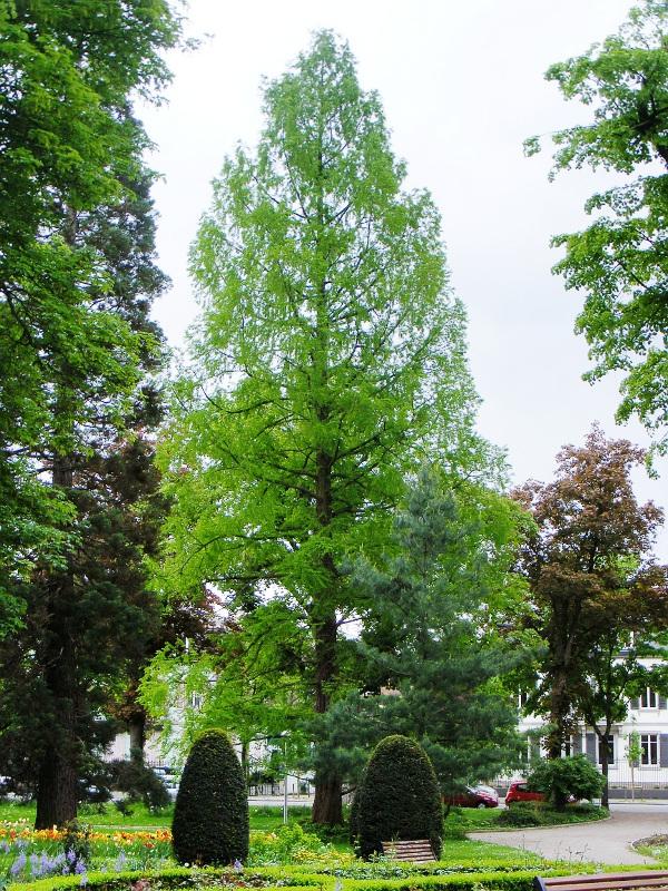 Monumental trees close to the Parc du château d\'Eau in Colmar, Haut ...